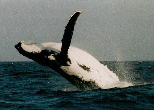 Several tonnes of frisky whale