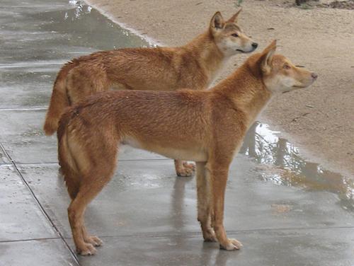 A dingo ate my sandwich